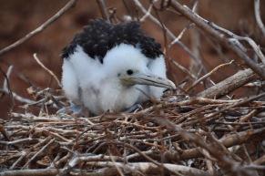 Baby frigate bird