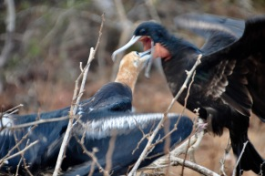 A young frigate bird still feeding from its mother