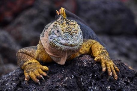 The vibrant land iguana
