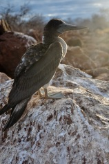 A young blue footed booby