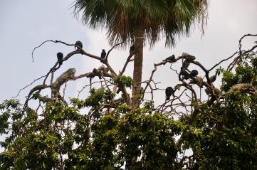 Pigeons and iguanas in harmony