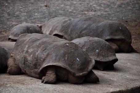 Sierra Negra Saddleback Giant Tortoises