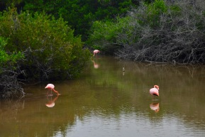The mangrove salt water lake is home to multiple flamingos