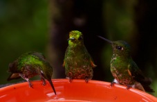 Buff-Tailed Coronet Hummingbirds