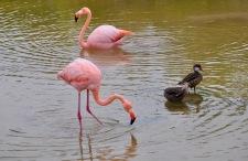 Galapagos flamingos!