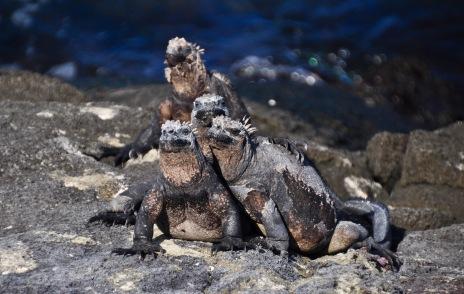 Marine Iguana family portrait