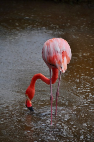 Flamingo eating