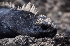 Marine iguana headshot
