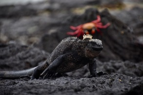 A black iguana contrasting with the red crab