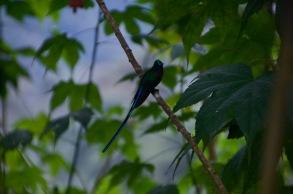 Violet Tailed Sylph Hummingbird