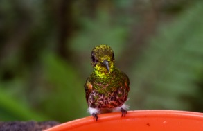 Buff Tailed Coronet Hummingbird