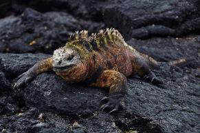 Marine iguana sunbathing