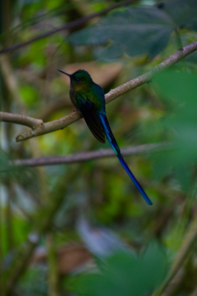 Violet Tailed Sylph Hummingbird