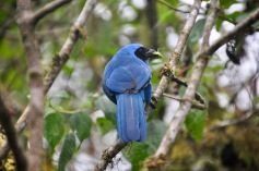 Turquoise Jay eating a grasshopper
