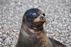 A young sea lion pup