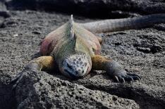 Colourful marine iguana