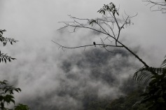 Lone Tanager looking out on the Cloud Forest
