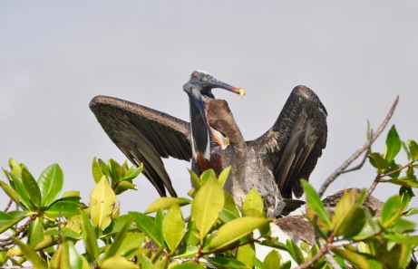 Pelican feeding its young