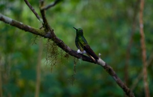 Buff Tailed Coronet Hummingbird