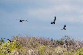 Frigate birds in flight