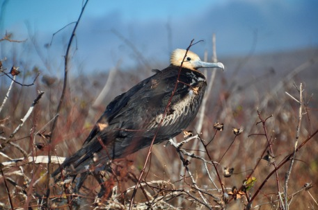 Young Frigate bird on the branches
