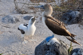 Blue footed booby with the chick