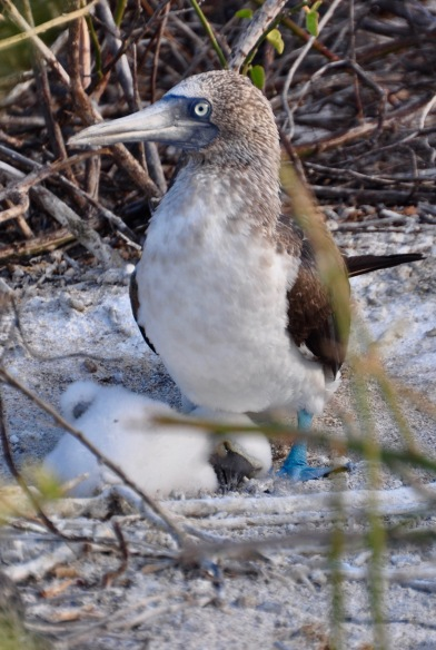 Blue footed Booby with baby