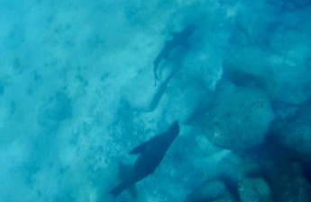 Sea lion chasing the reef shark