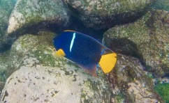 King Angelfish