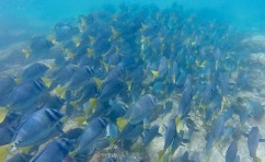 School of Yellowtail Surgeonfish