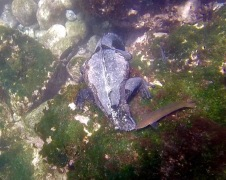 Marine iguana eating
