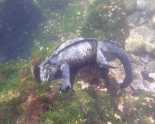Marine iguana munching on algae